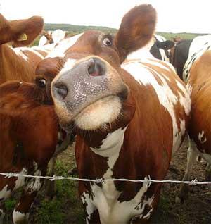cow-blood vacca pipì mucca  gau jal bevanda alla pipì di mucca marco pannella pipì