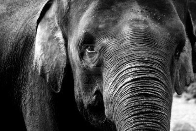 5436656-elefante-nella-fotografia-in-bianco-e-nero, elefante, zanne elefante, poesia taranto, dalila micaglio pesie,